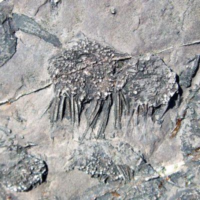 Fossil sea urchins
