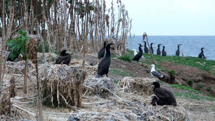 Great Cormorant colony