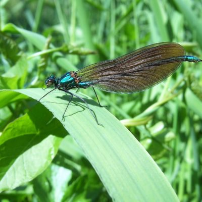 202 Beautiful Demoiselle