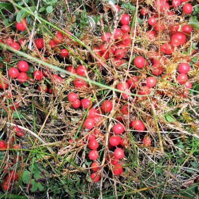 403 Red berries in autumn on the Wild Asparagus