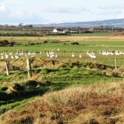 603 Whooper Swans feeding on farmland