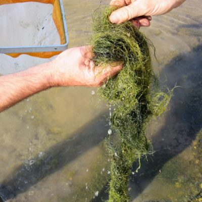 702 The green alga Chaetomorpha linum is a lagoonal specialist